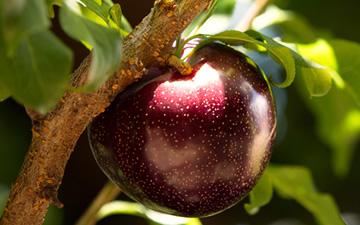 澳洲自然果公司获取女王石榴李QueenGarnet全球专利权,女王李系列产品全球同步销售